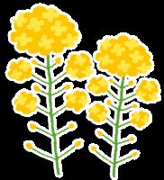 flower_nanohana2
